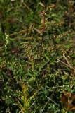 Ludwigia sphaerocarpa (Globe-fruited Seedbox)