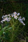 Aster gracilis (Slender Aster)