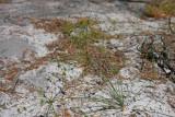 Cyperus grayi (Gray's Flatsedge)