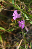Gerardia (Agalina) racemulosa (Pine Barren Gerardia)