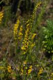 Solidago stricta (Wand-like Goldenrod)