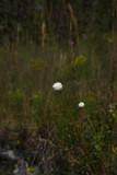 Eriocaulon decangulare (Ten-angled Pipewort)