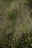 Muhlenbergia torreyana (Pine Barrens Smokegrass)