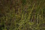 Lycopodiella appressa (Southern Bog Clubmoss)