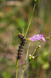 Buckeye caterpillar eating Gerardia
