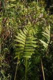 Woodwardia virginica (Virginia Chain Fern)