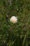 Eriophorum virginicum (Tawny Cotton Grass)
