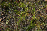 Lycopodiella caroliniana (Slender Clubmoss)