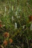 Spiranthes cernua (Nodding Ladies Tresses)