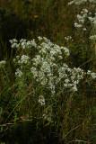 Eupatorium resinosum (Pine Barrens Boneset)
