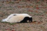Skunk in the backyard