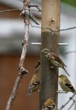 Purple Finches and Goldfinches