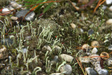 Cladonia macilenta- Pin Lichen