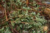 Cladonia peziziformis- Turban Lichen