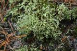 Cladonia uncialis- Thorn Lichen