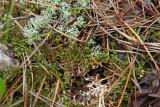 Cetraria arenaria- Sand-loving Iceland Lichen