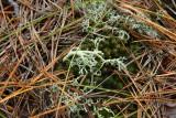 Cladonia submitis- Dune Reindeer Lichen