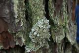 Imshaugia aleurites- Salted Starburst Lichen