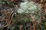 Cladonia atlantica- Brocolli Lichen