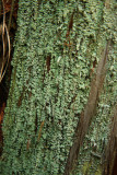 Cladonia beaumontii (Pale-fruited Funnel Lichen)