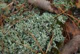 Pycnothelia papillaria- Nipple Lichen