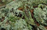 Cladonia rappii- Coastal Plain Ladder Lichen