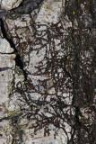 Frullania sp. (a liverwort)