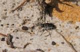 Oblique Tiger Beetle
