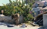 Wild Donkeys, Grand Turk, Turks & Caicos Islands, BWI