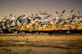 Birds of Bosque Del Apache 2006