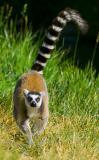 Ring-tailed Lemur Running.jpg