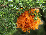 A fungus called Gymnosporangium juniperi-virginianae causes this attractive cedar apple rust gall to appear on eastern redcedar trees (alternate host).  The fungus overwinters inside these galls, then the orange jellylike horns (called telia) seen in the above photograph grow out of the gall in the spring and produce spores which may infect apple leaves to continue the life history of the fungus.