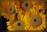 So many Sunflowers