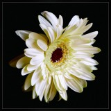 Gerbera Daisy White