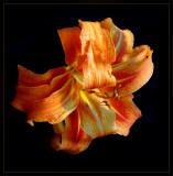 Orange Double Lily
