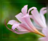 Lycoris squamigera Lily