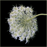White Weed or Hoary Cress