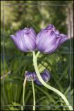 Siamese Twin Tulips