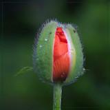 Poppy Bud