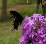 Butterfly on Franz Schubert garden phlox