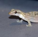Desk Gecko -  The Pose