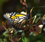 Orchid Monarch