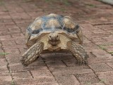 Spur-Thigh Tortoise