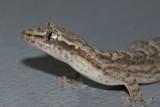 Gecko Pose