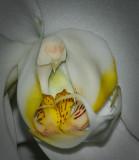 Phalaenopsis Orchid - Vignette