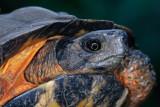 North American Wood Turtle