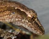 Eye of Gecko