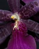 Miltassia  Orchid Darth Vader
