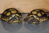 Baby Redfoot Tortoises