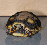 Baby Redfoot Tortoise - 2